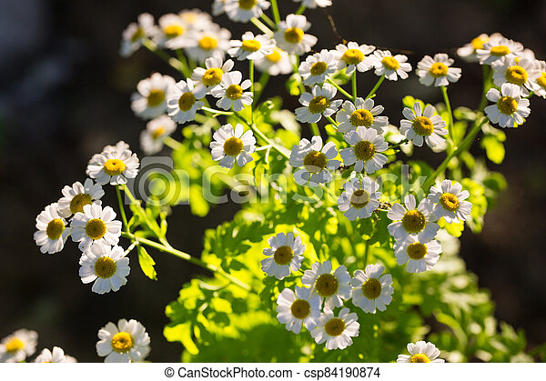 Chamomile flowers on a meadow in summer - csp84190874