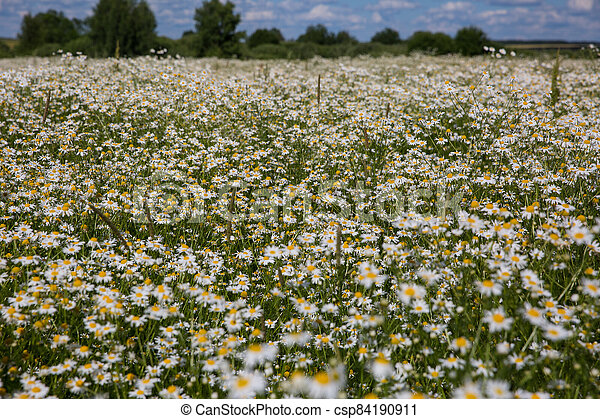 Chamomile flowers on a meadow in summer - csp84190911