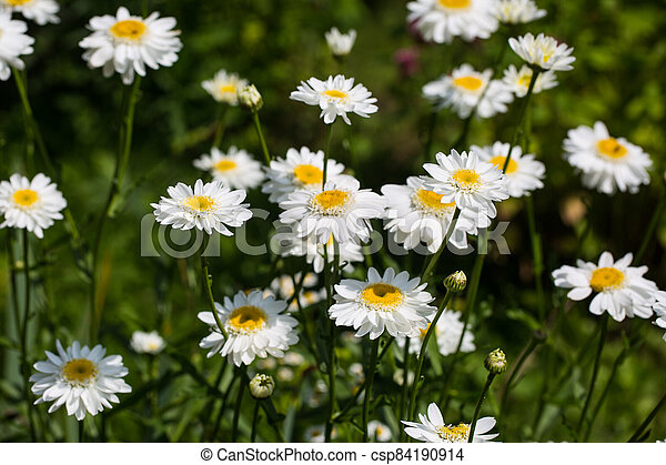 Chamomile flowers on a meadow in summer - csp84190914