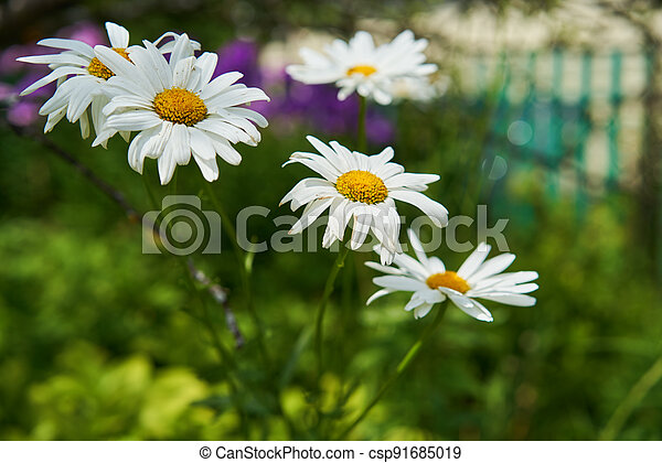 Chamomile flowers on a meadow in summer - csp91685019