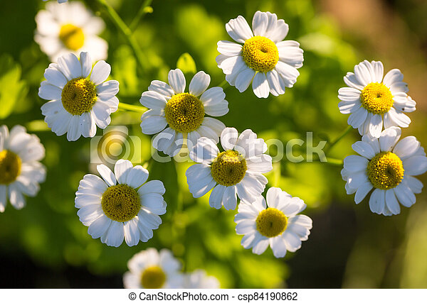 Chamomile flowers on a meadow in summer - csp84190862