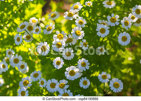 Chamomile flowers on a meadow in summer - csp84190866