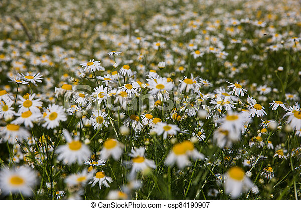 Chamomile flowers on a meadow in summer - csp84190907