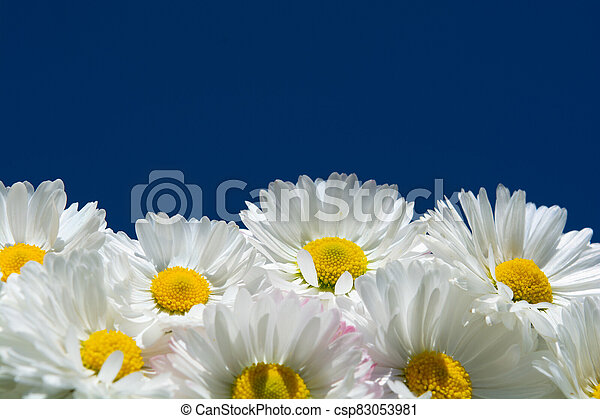 chamomiles on a background of blue sky - csp83053981
