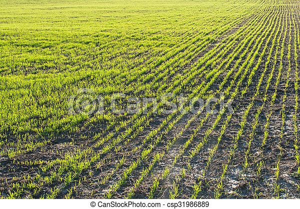 champ, blé, jeune - csp31986889