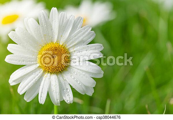 champ, fleur, camomille, herbe - csp38044676