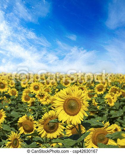 champ, fleurs, tournesols - csp42630167