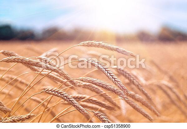 champ, oreilles, blé, coucher soleil, pendant - csp51358900
