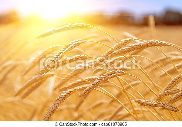 champ, oreilles, blé, coucher soleil, pendant - csp61078905