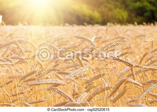champ, oreilles, blé, coucher soleil, pendant - csp52520615