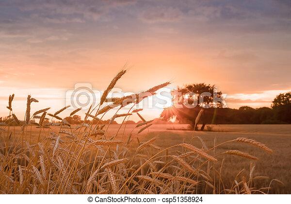 champ, oreilles, blé, coucher soleil, pendant - csp51358924