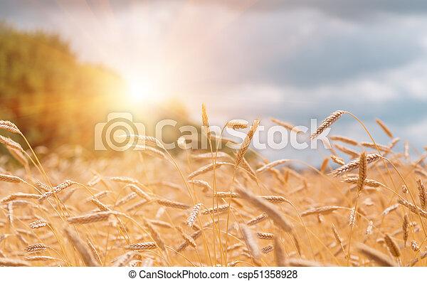 champ, oreilles, blé, coucher soleil, pendant - csp51358928