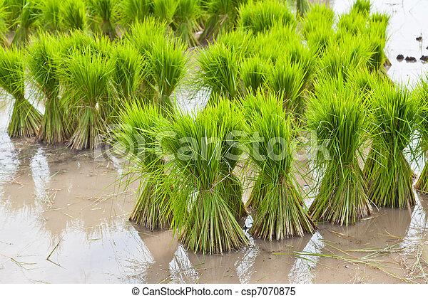 Champ tha riz pousse images de stock rechercher des photos des images et des photos - Comment pousse les kiwi ...