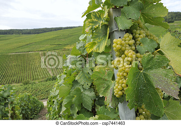 champagne grapes #1, epernay - csp7441463