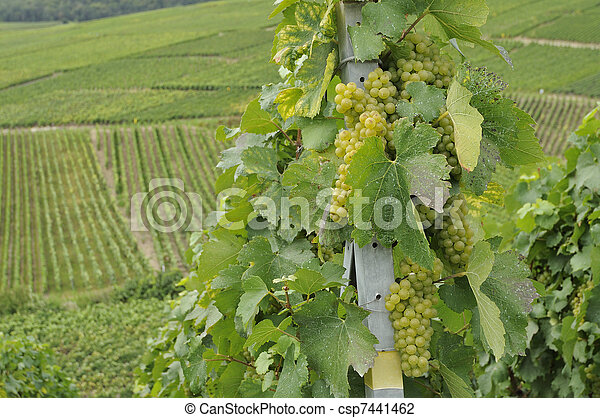 champagne grapes #3, epernay - csp7441462