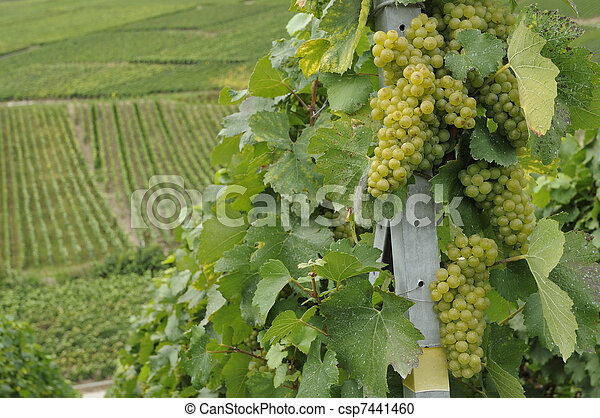champagne grapes #4, epernay - csp7441460