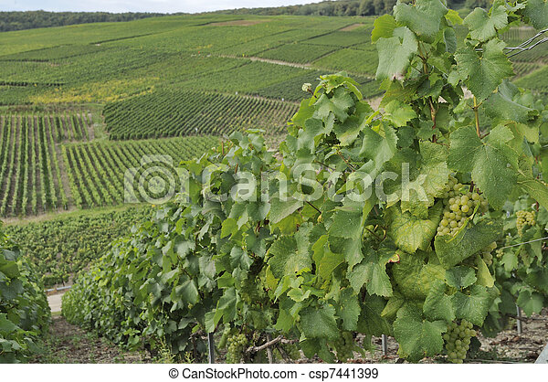 champagne hilly vineyard #4, epernay - csp7441399
