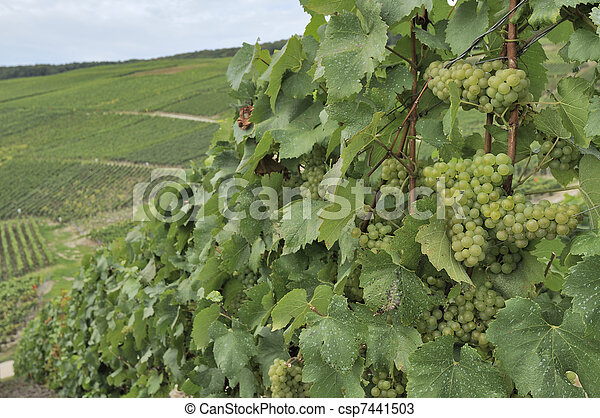 champagne hilly vineyard #7, epernay - csp7441503