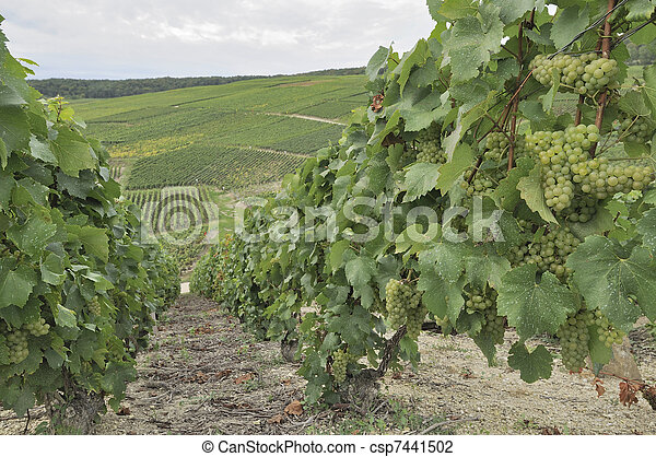 champagne hilly vineyard #8, epernay - csp7441502