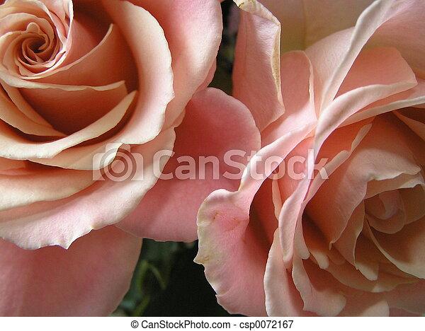 champagne petals - csp0072167
