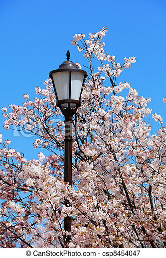 charming cherry blossoms with street light - csp8454047