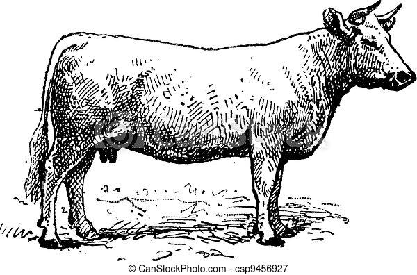 Charolais cattle, vintage engraving. - csp9456927