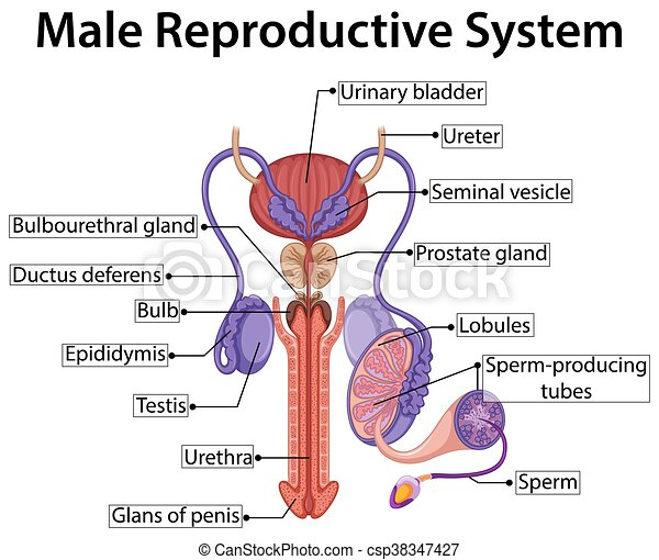 Male Reproductive System Diagram Chart Wiring Diagram