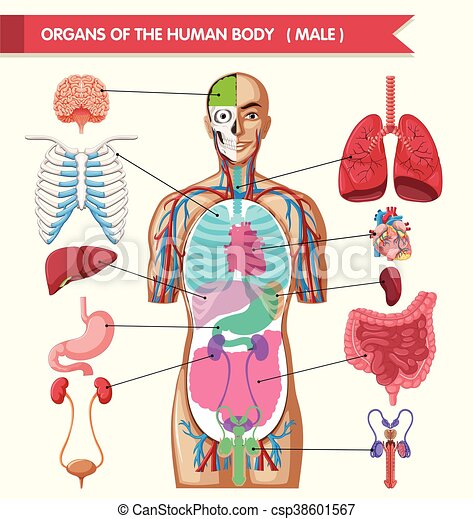 Chart showing organs of human body illustration.
