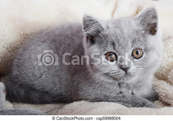 chaton gris, britannique, reposer - csp59988004