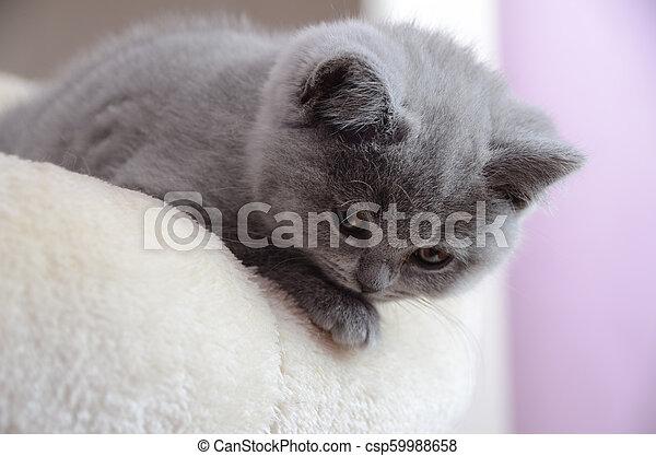 chaton gris, britannique, reposer - csp59988658