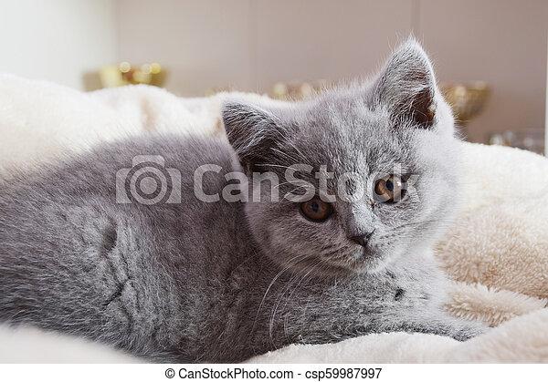 chaton gris, britannique, reposer - csp59987997