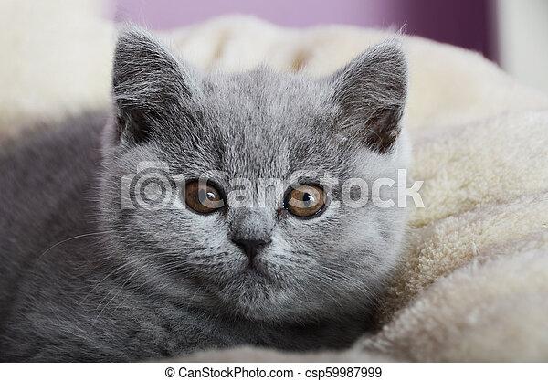 chaton gris, britannique, reposer - csp59987999