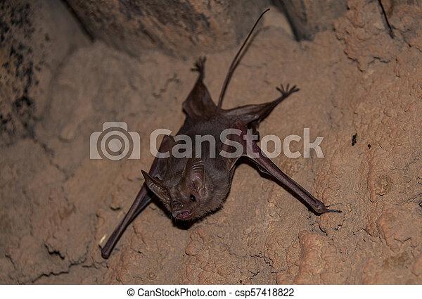 chauve-souris, caverne, vampire, sables, commun, petit - csp57418822