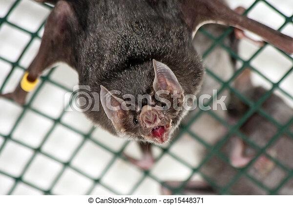 chauve-souris, commun, vampire - csp15448371
