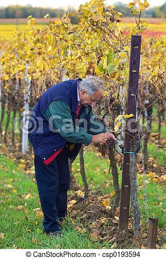 Checking the grapes - csp0193594