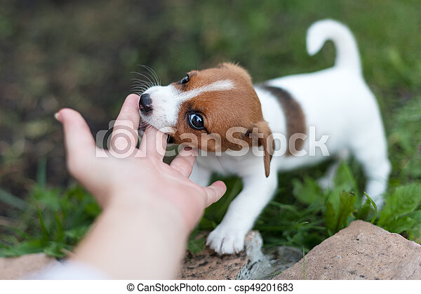 cheerful puppy jack russell terrier playfully biting the fingers of