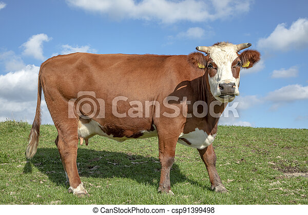 Cheerful red blister head cow with horns, cattle breed known as: blisterhead aka blaarkop, fleckvieh, on a dyke with grass and a blue sky. - csp91399498