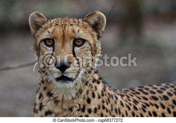 Cheetah, Acinonyx jubatus, beautiful mammal animal in the zoo - csp68377272