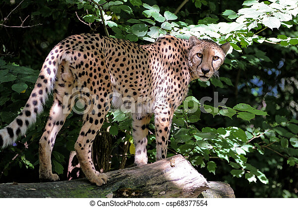 Cheetah, Acinonyx jubatus, beautiful mammal animal in the zoo - csp68377554