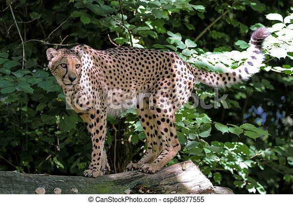 Cheetah, Acinonyx jubatus, beautiful mammal animal in the zoo - csp68377555