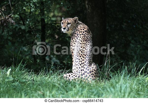 Cheetah, Acinonyx jubatus, beautiful mammal animal in the zoo - csp66414743