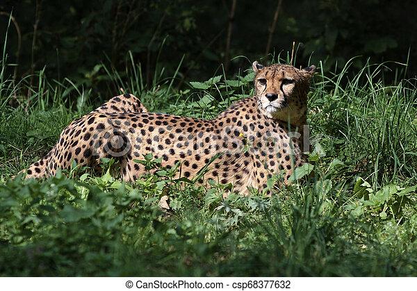 Cheetah, Acinonyx jubatus, beautiful mammal animal in the zoo - csp68377632
