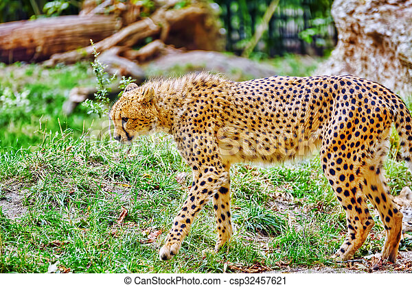 Cheetah (Acinonyx jubatus) is a big cat in the subfamily Felinae that inhabits most of Africa and parts of Iran. - csp32457621