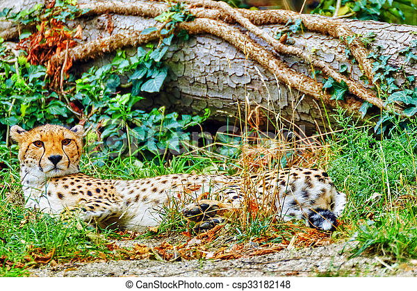 Cheetah (Acinonyx jubatus) is a big cat in the subfamily Felinae that inhabits most of Africa and parts of Iran. - csp33182148