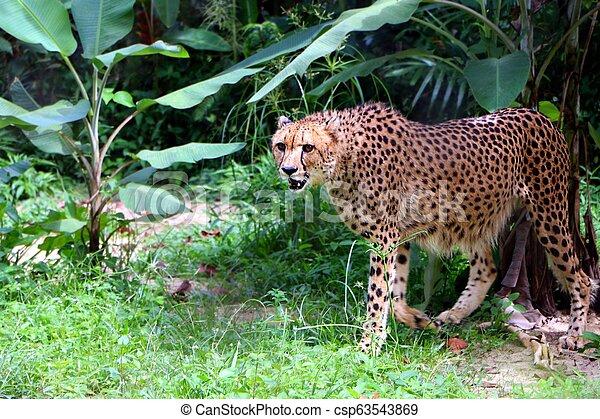 Cheetah ( Acinonyx jubatus) is a large cat of the subfamily Felinae. - csp63543869