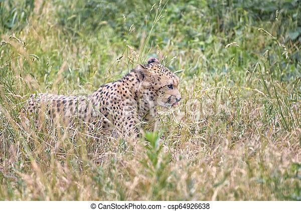 Cheetah, Acinonyx jubatus is the fastest land animal - csp64926638