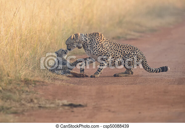 Cheetah cub playing with her mother in a road - csp50088439