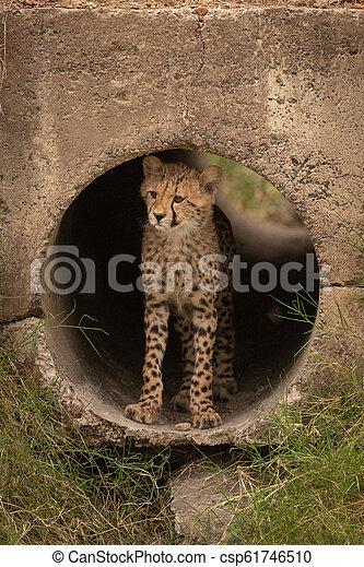 Cheetah cub stands in dark concrete pipe - csp61746510