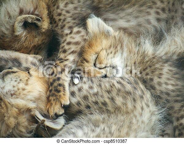 cheetah cubs sleeping 3 cheetah cubs sleeping linked together
