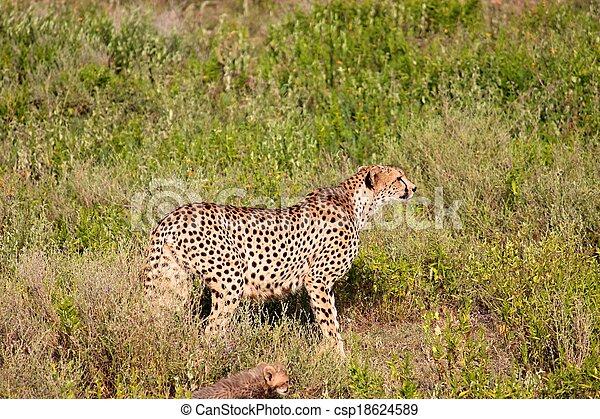Cheetah in the park - csp18624589